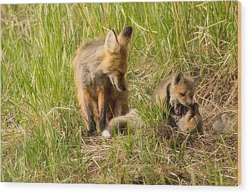 Mama Fox And Kits 2 Wood Print by Natural Focal Point Photography