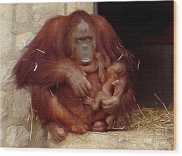 Mama N Baby Orangutan - 54 Wood Print by Gary Gingrich Galleries