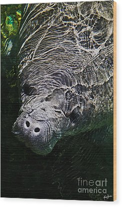 Wood Print featuring the photograph Manatee 01 by Melissa Sherbon