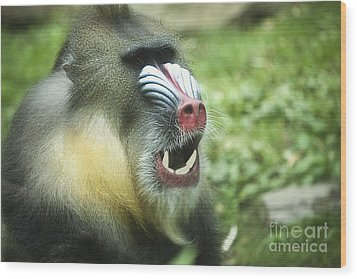 Mandrill Wood Print by Rich Collins