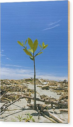Mangrove Seedling On A Beach Wood Print by Science Photo Library