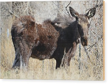 Mangy Moose Wood Print by Eric Nielsen