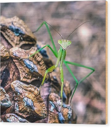 Mantis On A Pine Cone Wood Print