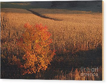 Maple And Cornfield At Dawn Wood Print by Larry Ricker