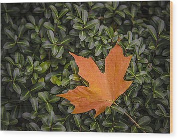 Maple Leaf On Boxwood Wood Print