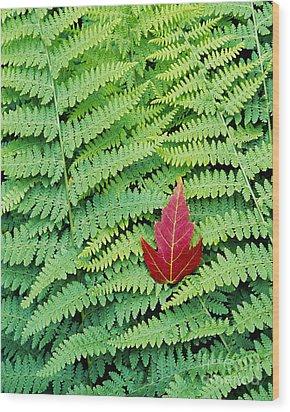 Maple Leaf On Ferns Wood Print by Alan L Graham