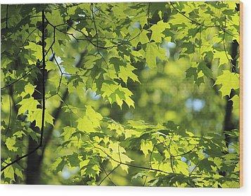 Maple Leaves In Spring Wood Print