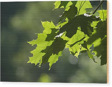 Maple Leaves In Summer Wood Print