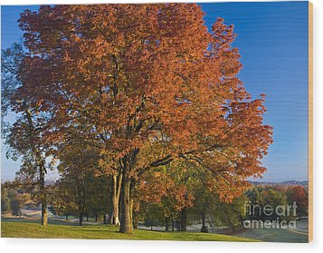 Maple Trees Wood Print by Brian Jannsen