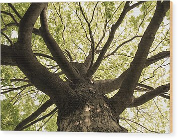 Wood Print featuring the photograph Maple's Spring Glory by Scott Rackers