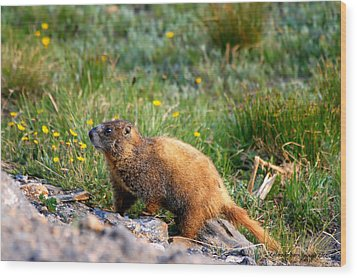 Marmot In Spring Wood Print by Rebecca Adams