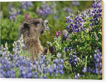 Marmot Mount Rainier National Park Wood Print
