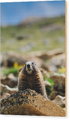 Marmot On A Rock Wood Print