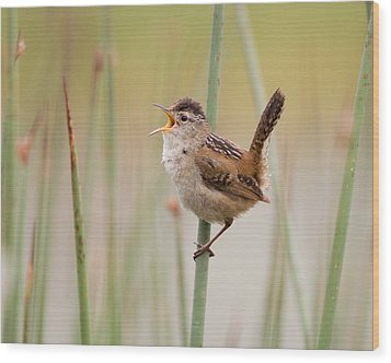 Marsh Wren Wood Print by Doug Herr