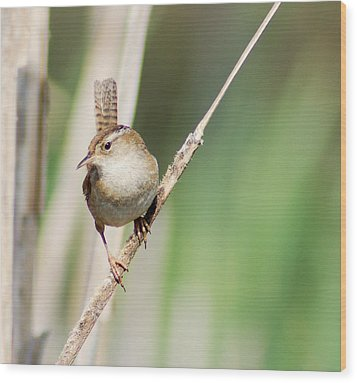 Wood Print featuring the photograph Marsh Wren by Erin Kohlenberg