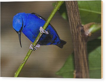 Masked Blue Bird Wood Print by Penny Lisowski