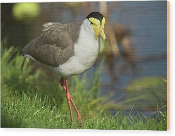 Masked Lapwing Wood Print by Bob Gibbons