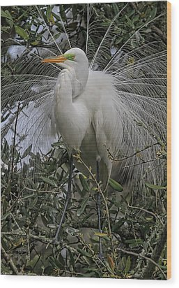 Mating Plumage Wood Print by Deborah Benoit