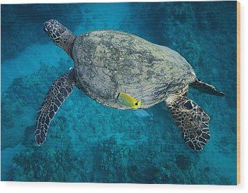 Maui Sea Turtle Cleaning Wood Print