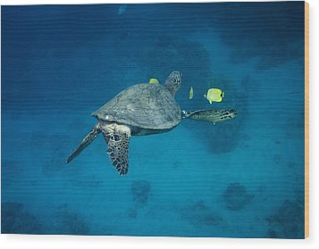 Wood Print featuring the photograph Maui Sea Turtle Cleaning Rear View by Don McGillis
