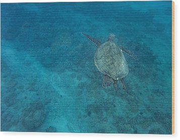 Maui Sea Turtle Comes In For A Landing Wood Print