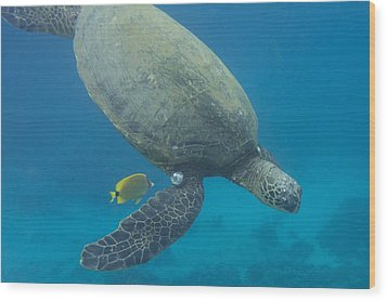Wood Print featuring the photograph Maui Sea Turtle Dives To Cleaning Station by Don McGillis
