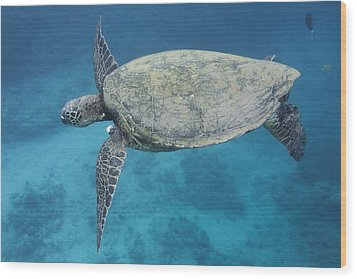Maui Sea Turtle Flying Wood Print