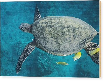 Maui Sea Turtle Flys In To A Cleaning Station Wood Print