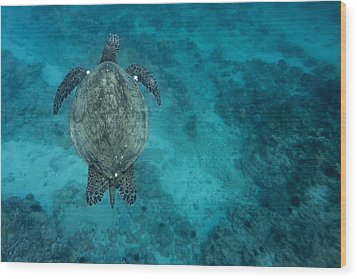 Wood Print featuring the photograph Maui Sea Turtle Scouts For A Spot by Don McGillis