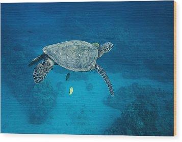 Maui Sea Turtle Suspended With Tail Tucked Wood Print