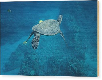 Maui Sea Turtle Tucks His Tail For Cleaning Wood Print