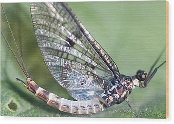 Mayfly Wood Print by Richard Thomas