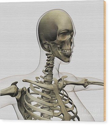 Medical Illustration Of A Womans Skull Wood Print by Stocktrek Images