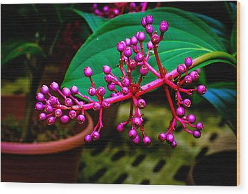 Medinilla Singapore Flower Wood Print by Donald Chen