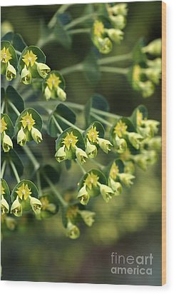 Mediterranean Spurge Wood Print by Joy Watson