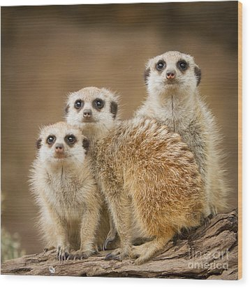 Meerkat Family Wood Print by Craig Dingle