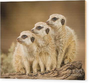 Meerkats Wood Print by Craig Dingle