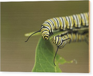 Meeting In The Middle - Monarch Caterpillars Wood Print by Jane Eleanor Nicholas