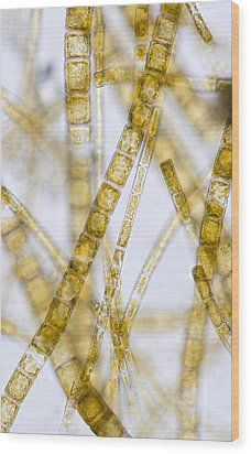 Melosira Filamentous Diatom Alage, Lm Wood Print by Power And Syred