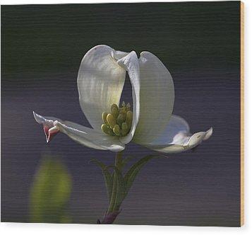 Memory - A Dogwood Blossom Wood Print