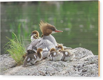 Merganser With Chicks Wood Print by Acadia Photography