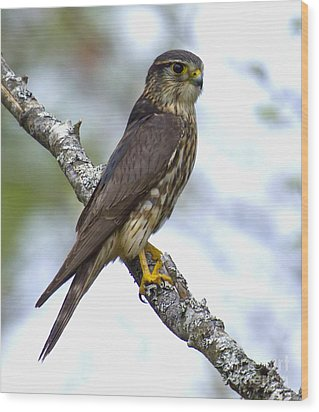 Wood Print featuring the photograph Merlin Falcon by Nancy Dempsey