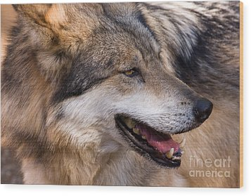 Wood Print featuring the photograph Mexican Gray Wolf by Chris Scroggins