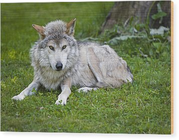 Wood Print featuring the photograph Mexican Gray Wolf by Sebastian Musial