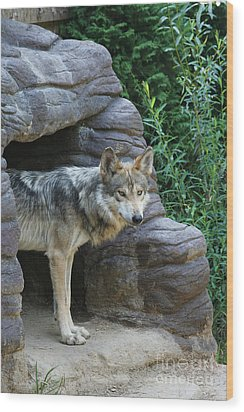 Mexican Wolf #2 Wood Print