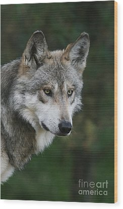 Mexican Wolf #4 Wood Print