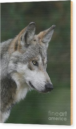 Mexican Wolf #5 Wood Print