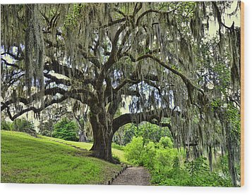 Middleton Place Oak  Wood Print