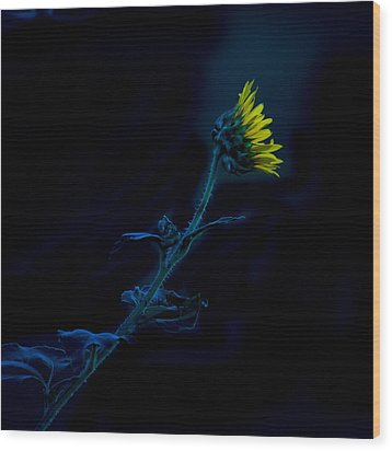 Wood Print featuring the photograph Midnight Sunflower by Darryl Dalton