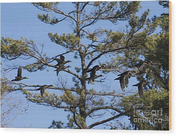 Migrating Wood Ducks Wood Print by Dan Hefle